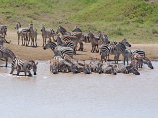 Zebras drinken