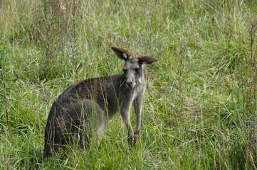 Photo of a kangaroo