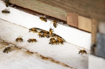 Bienen beim Anflug auf Bienenstock