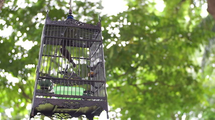 Streptopelia turtur in a cage on green trees background