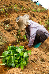 Women were planted tea on the mountain
