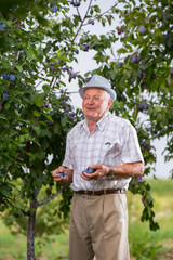 Senior man picking plums in an orchard
