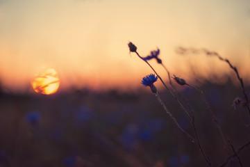 Kornblume im Sonnenuntergang