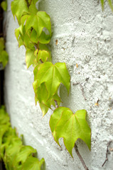 Green ivy-vertical
