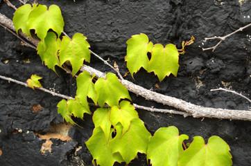 Green ivy on black