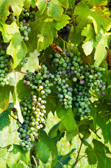 Grape cluster in summer