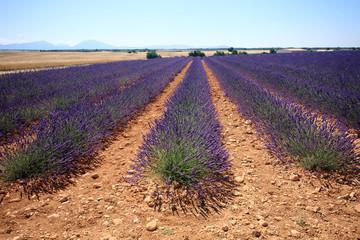 valensole provenza francia campi di lavanda fiorita coltivazione