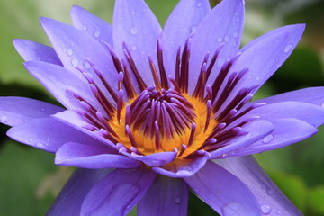 Water Lily flower with raindrop