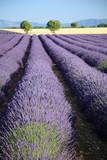 Fototapety valensole provenza francia campi di lavanda fiorita coltivazione