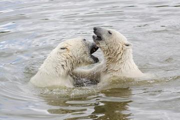 Polar bears in water