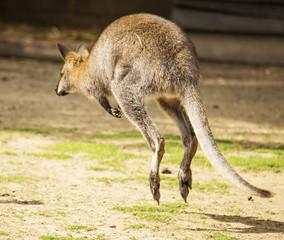 Hopping wallaby