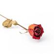 Red rose dry.
