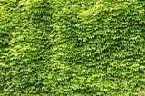 Green ivy - Fine Art prints
