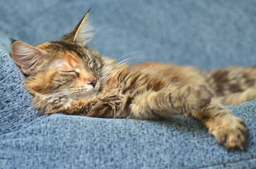 śpiąca piękna młoda kotka rasy maine coon