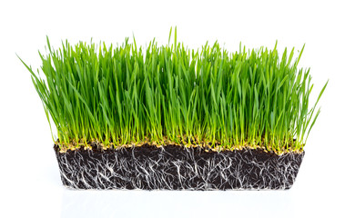Fresh green wheat grass with roots isolated on white background