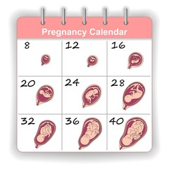 Growth of a human fetus on the weeks calendar