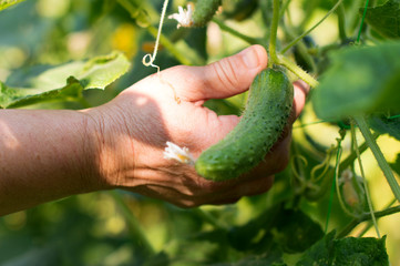 The process of harvesting ripe cucumbers