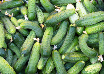 Texture - a large number of ripe, green, fresh cucumbers