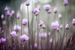 canvas print picture - Flowering chives