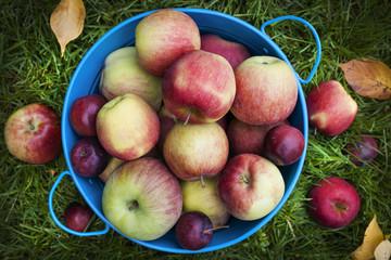 Fresh apples harvest