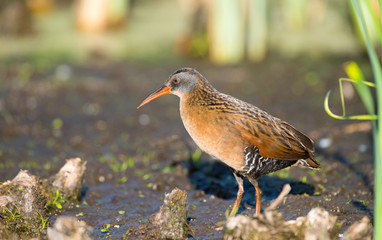 Virginia Rail in a marsh