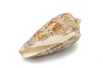 Conus aulicus,sea shell on white background
