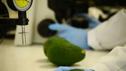 Analyzing avocados in a laboratory