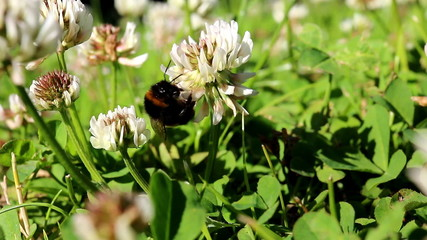 Close up of bumblebee on clover flower
