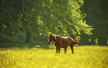 Horse on flower meadow