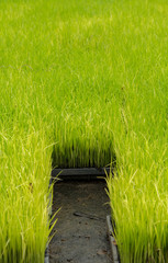 Rice cultivation in tray
