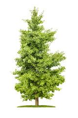 freigestellter Ginkgobaum vor weißem Hintergrund