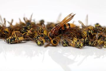 Wespen mit Wespenkönigin
