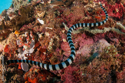 Aquatic sea snake is crawling above the various coral reefs - 68558836