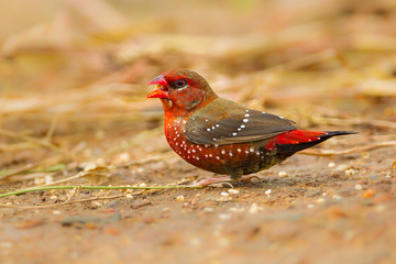 Male  Red Avadavat(Amandava amandava) on the ground