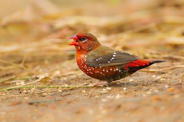 Male  Red Avadavat(Amandava amandava) on the ground