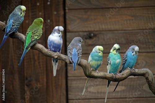 Staande foto Papegaai Wellensittiche