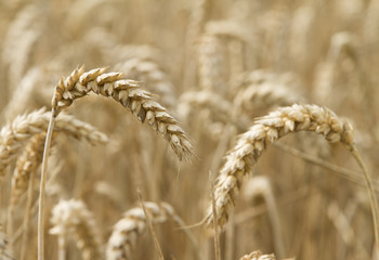 Close up ear of ripe wheat