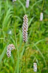 Medicinal herb bistort 5