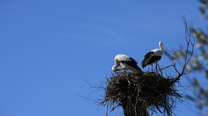 Storks in nest in Doñana preserve, Spain