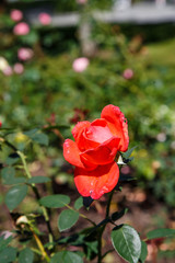 Red Rose in Formal Garden