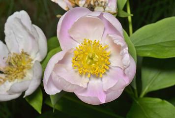 Flower of wild peony 7