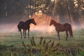 horses in morning misty sunbeams