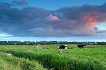 cows on pasture at sunset