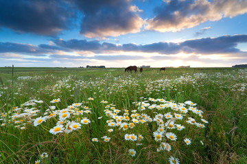 chamomile flowers and horses on pasture