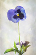 Watercolor purple pansy