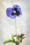 Watercolor purple pansy