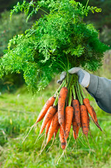 Harvesting carrots. Woman's hand with a bunch of carrots with to