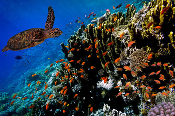 Green Sea Turtle swimming along tropical coral reef