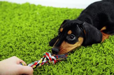 Cute dachshund puppy on green carpet