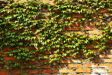Green ivy on old wall, close up
